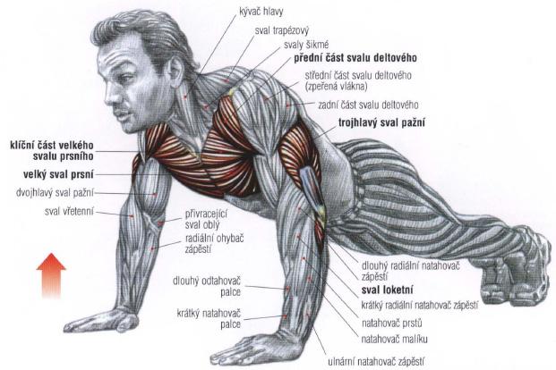 svaly paže